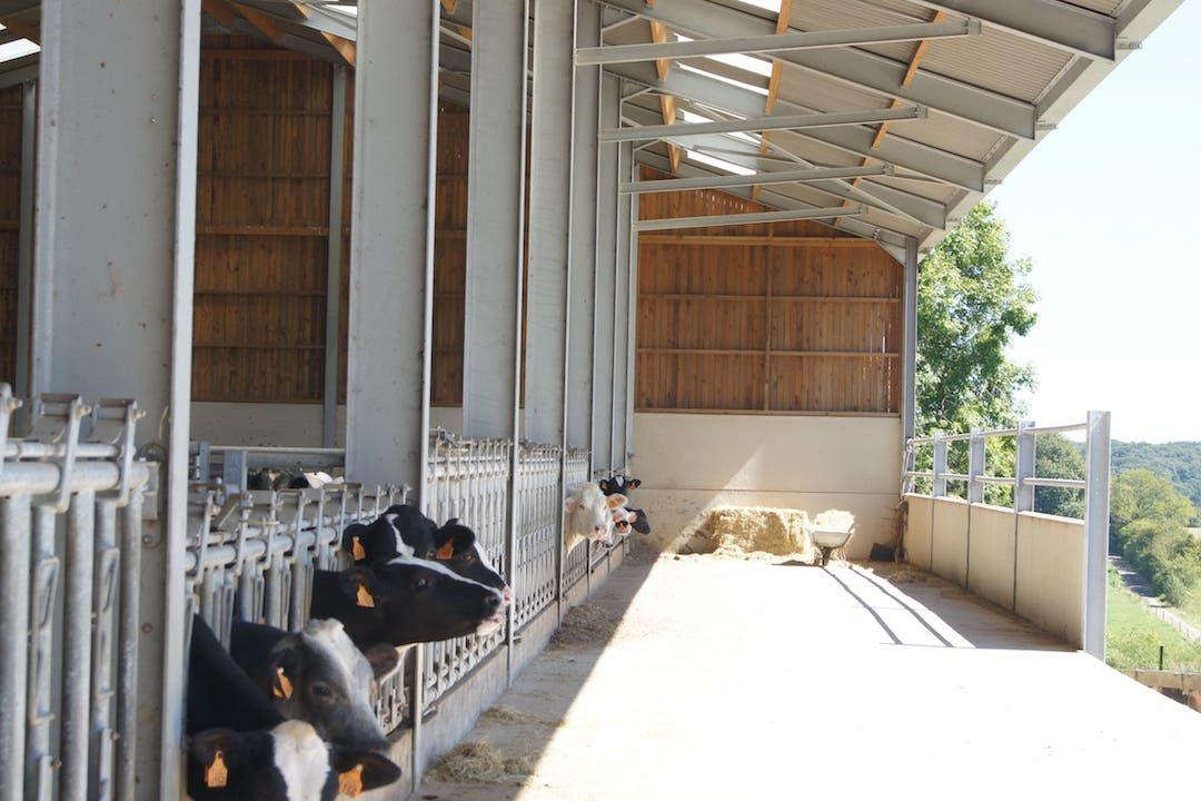 Intérieur étable vaches